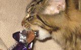 kat en chocolade