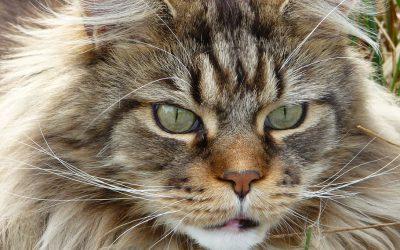 maine coon kat