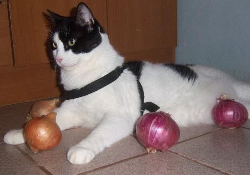 kat met uien