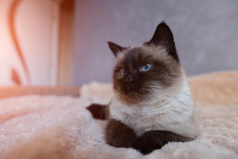 siamese kat op bed blauwe ogen