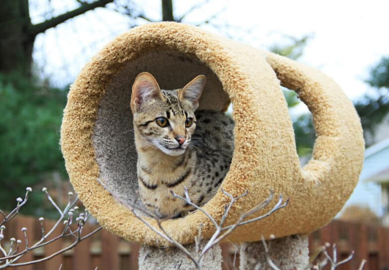 Savannah kat als huisdier