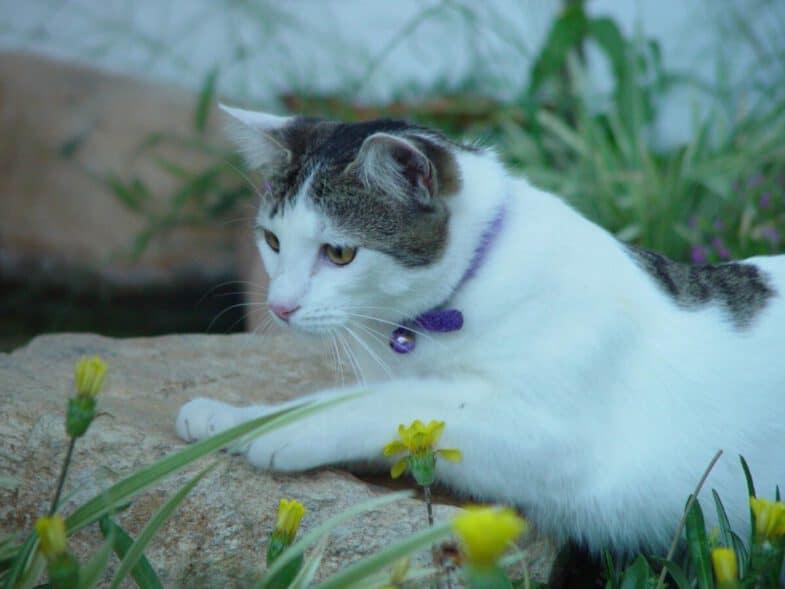 kat ligt buiten in gras