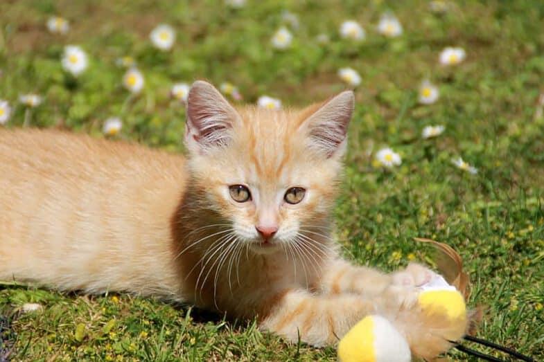 oranje kitten speelt met kattenspeelgoed