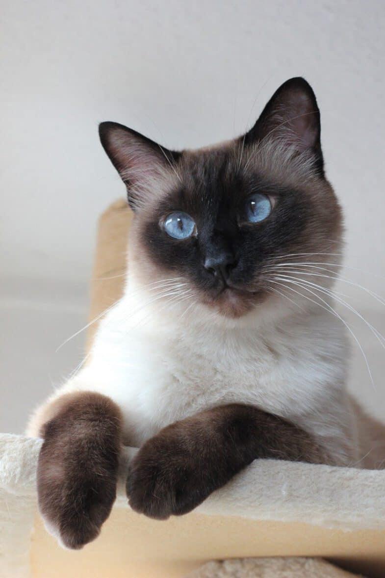 siamese kat kattenras blauwe ogen