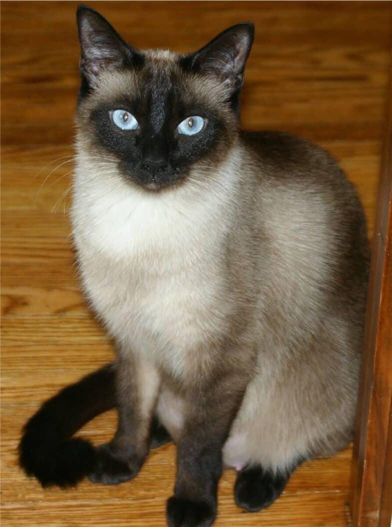 siamees kat blauwe ogen