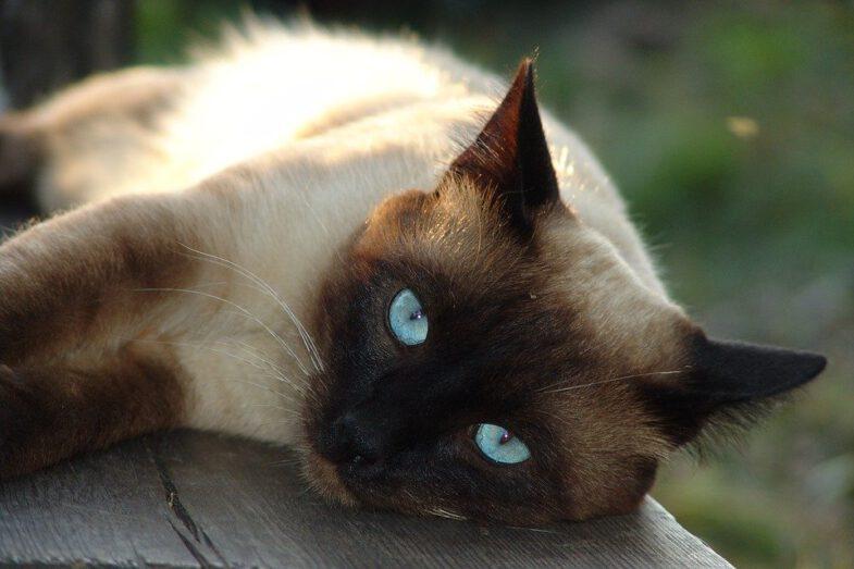 siamese kat raskatten met blauwe ogen