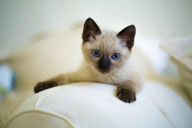 siamese kitten met blauwe ogen