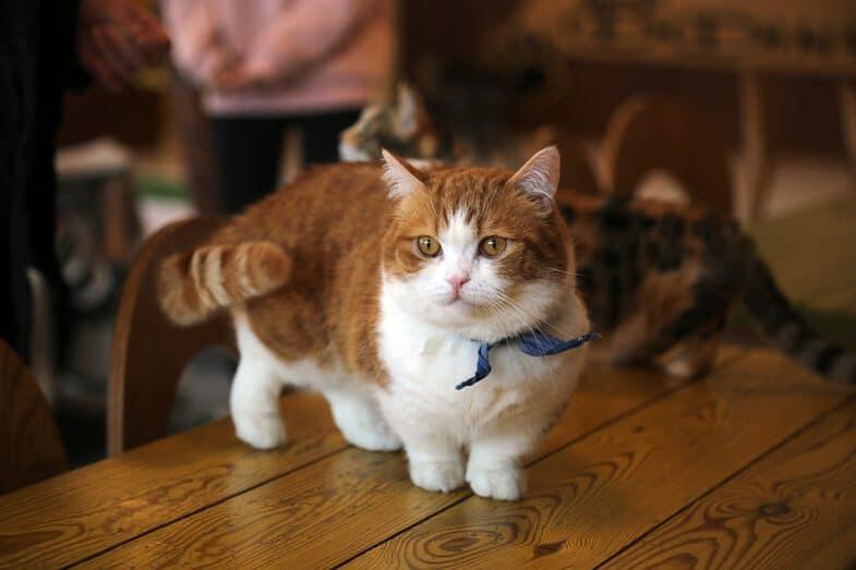 Munchkin Kat Kattenras