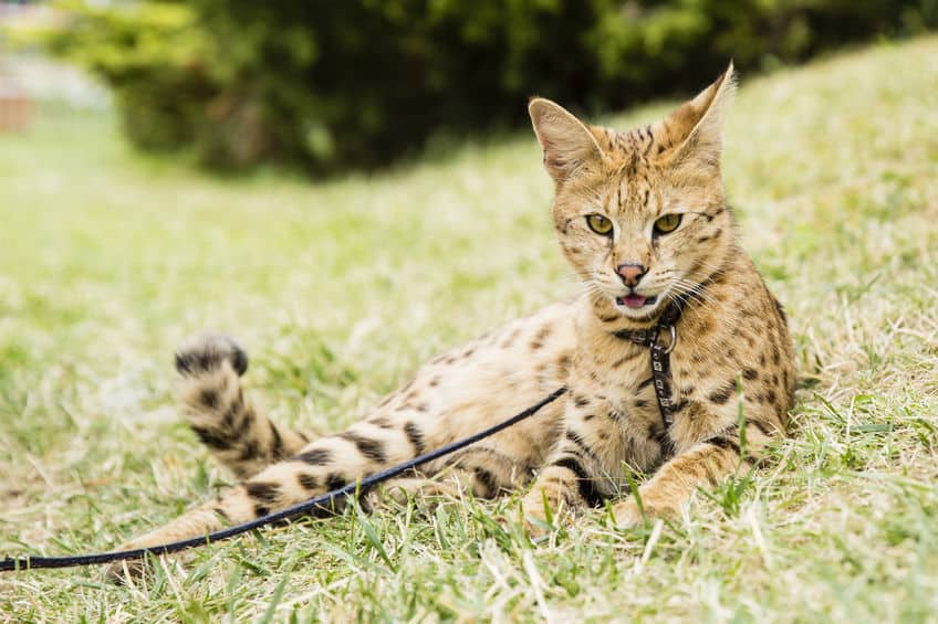 Savannah kat huiskat