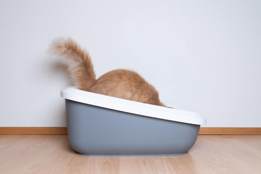beste grote kattenbak 2021 maine coon
